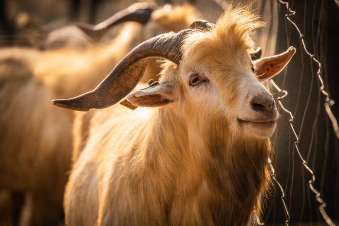 allevare capre